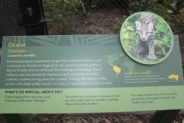 Ocelotes: Dos nuevos vecinos en el Zoo de Santa Ana