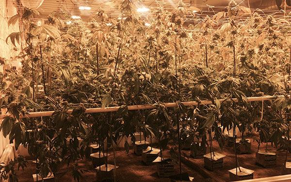 Policía encuentra plantío de mariguana