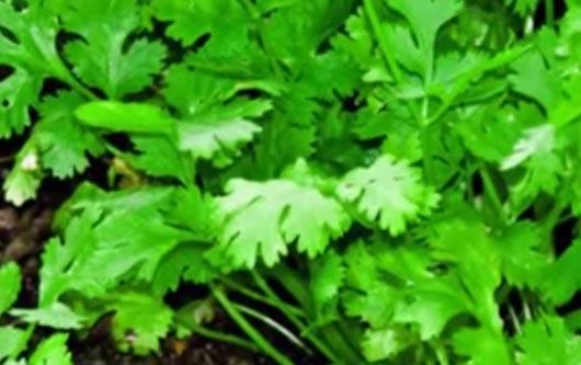 EEUU prohibio la importación del cilantro mexicano