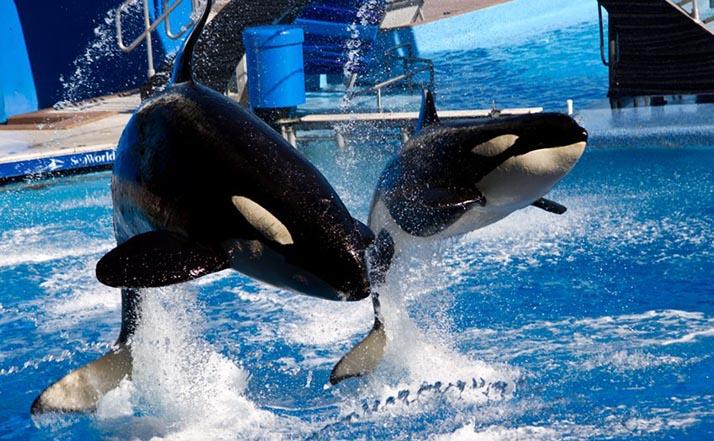 SeaWorld pondrá fin a programa de cría de orcas