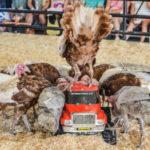 Una estampida se prepara para despedir La OC-Fair 2017