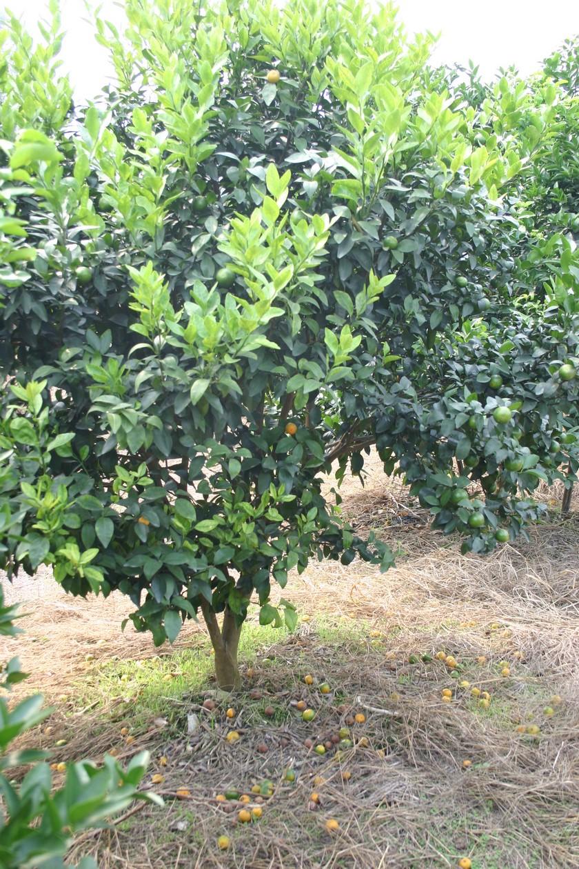 Se encuentra en Santa Ana una enfermedad que afecta a árboles cítricos