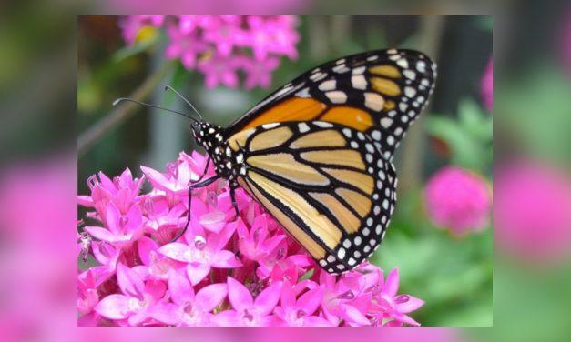 Cuenta regresiva de Invierno para la Mariposa Monarca del Oeste, 99.9%
