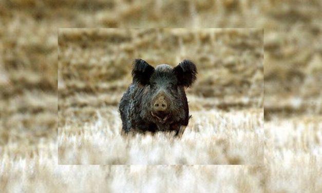 Preguntas y respuestas de California Outdoors – ¿Qué puedo hacer si los cerdos salvajes destruyen mi jardín?