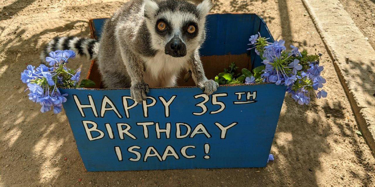 Los Amigos del Zoológico de Santa Ana te invitan este sábado 10 de Julio a celebrar el cumpleaños 35 de «Isaac», el lémur de cola anillada